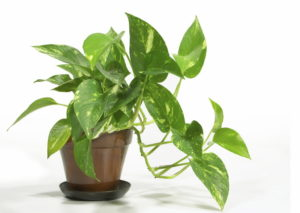 names-of-common-house-plants